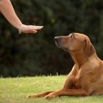 обидиенс (в пер. с англ. — послушание) — вид дрессировки, который помогает воспитать собаку, безупречно управляемую (послушную).