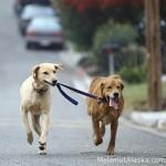 Как приучать к ошейнику щенка