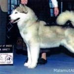 Аляскинский Маламут (сука)