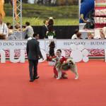 Аляскинский маламут Гольф (6 мес.) Чемпионат мира 2013, Будапешт