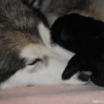 Лабрадор ретривер, щенки. С Рейной, аляскинским маламутом.