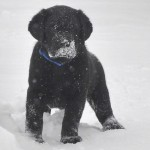 Лабрадор ретривер, щенки. Первое знакомство со снегом!