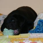 Лабрадор ретривер, щенки. Дети!)))