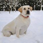 Лабрадор Sabrina. Зима