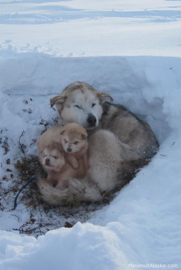 белый аляскинский маламут фото