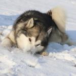Аляскинский маламут Гольф