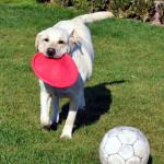 Лабрадор Sabrina. Любимая игра – поймать и принести игрушку.