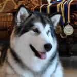 Аляскинский маламут Рейна (Chesvik-Top Oda La Reine)
