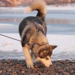 Аляскинский Маламут Awesome Numa Northern Sunrise