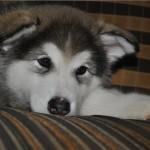 Аляскинский маламут Рейна (Chesvik-Top Oda La Reine) в детстве