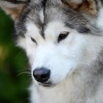 Аляскинский маламут Рада
