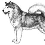 Стандарт породы Аляскинский маламут
