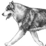 Маламут – выносливая собака