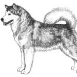 Аляскинский маламут должен быть тяжелее и мощнее других северных пород