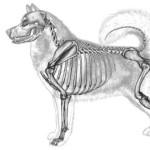 Костяк должен быть пропорционален размеру собаки.