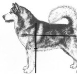 Очень важно, чтобы длина корпуса была только немного больше, чем высота маламута в холке