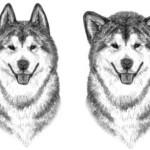 Заостренные уши, слишком большие и высоко посаженные, и Слишком большие уши, очень широко посаженные, голова куполом