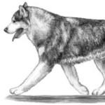 Правильные движения – маламут часто движется с вытянутым назад хвостом