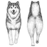 При взгляде спереди или сзади конечности движутся строго вдоль линии