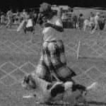 Выполнение gaiting с коротконогими породами требует определенной сноровки.