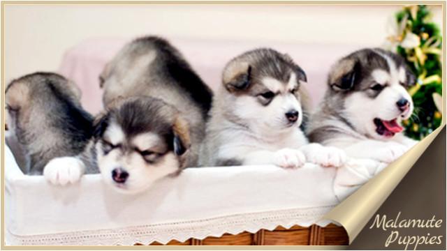 Malamute Puppies Щенки Маламута
