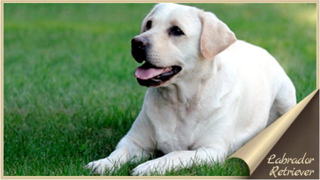 Labrador Retriever О породе Лабрадор