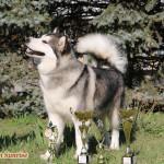 Аляскинский Маламут Аделия (16 мес.)