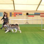 Аляскинский Маламут Аделия (16 мес.) Международная выставка в Кишеневе