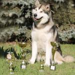 Аляскинский маламут Гольф (16 мес.) Международная выставка в Кишеневе