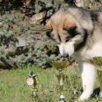 Аляскинский маламут Гольф (16 мес.)