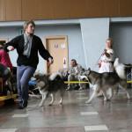 Аляскинские маламуты: Гольф (21 мес.) и Ляля (9 мес.) Выставка САС-UA в г.Ровно