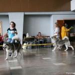Аляскинские маламуты: Рада (19 мес.) и Адель (21 мес.) Выставка САС-UA в г.Ровно