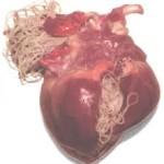 Сердце пораженное дирофиляриями