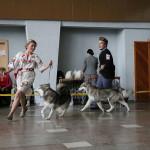 Аляскинские маламуты: Ляля (9 мес.) и Триша (12мес.) Выставка САС-UA в г.Ровно