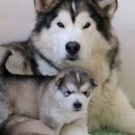 Гольф и Щенок Аляскинского маламута