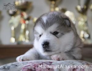 Щенок Аляскинского маламута Kenai Northern Sunrise (3 нед.)
