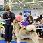 Аляскинский маламут Гольф. Чемпионат FCI-CAC Северных Ездовых Пород