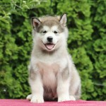 "Щенок Аляскинский маламут, помет ""N"" (1,5 мес.)"