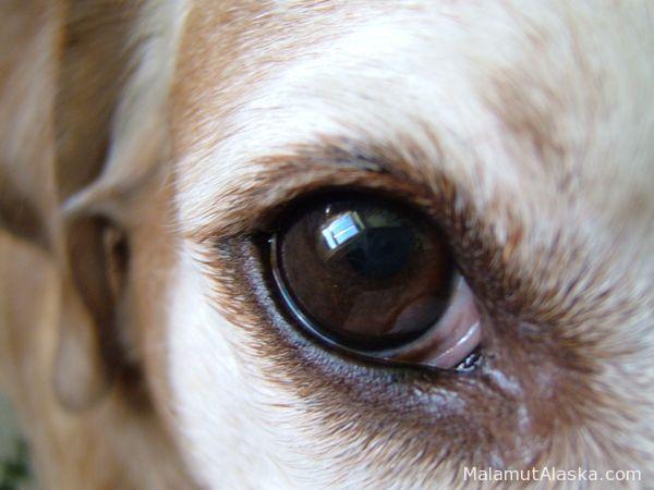 Почему слезятся у лабрадора глаза