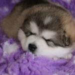 Щенок Аляскинского маламута. Мальчик (серая ленточка), 28 дней