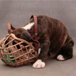 Как приучить собаку к наморнику