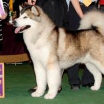 Linebreeding 3-4: BIS BISS Wind's Fury Jacob Trailblazer BIS BISS AM/CAN CH ROM, 2008 Westminster Best of Breed Winner, Number 3 Malamute in the US in 2007 (Both Systems), Number 4 Malamute in the US in 2006, Number 4 Breeds US 2010, Number 5 Malamute in the US in 2010 as a Veteran, TDI CGC WWPD WWPDX WPD