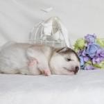Щенок Аляскинского маламута. Мальчик 1 (17 дней)