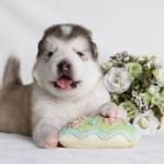 Щенок Аляскинского маламута. Мальчик 2 (17 дней)