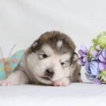 Щенок Аляскинского маламута. Мальчик 3 (17 дней)