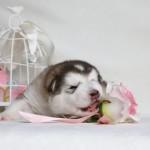 Щенок Аляскинского маламута. Девочка 1 (17 дней)