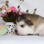 Щенок Аляскинского маламута. Девочка 2 (17 дней)
