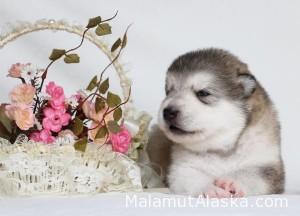 Щенок Аляскинского маламута. Девочка 3 (17 дней)