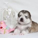 Щенок Аляскинского маламута. Девочка 4 (17 дней)
