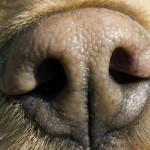Цвет носа собаки